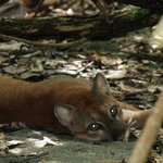 Female Puma in Corcovado National Park