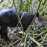 Tapir in Corcovado National Park