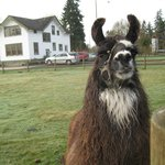 a llama with one of the Inn's farm houses in the background