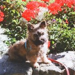Rafa, resident Cairn Terrier