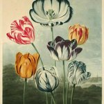 Tulips, Dr. Thornton, Temple of Flora