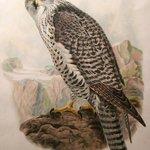 Icelandic Falcon, by John Wolf