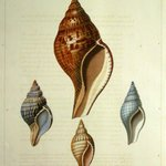 Seashell engraving by George Perry