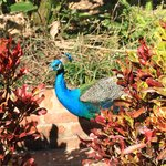 Colorfull peacocks throughout the gardens
