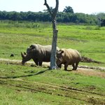 Rhino's confined with only a single strand electric fence