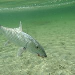 Bonefish prior to release