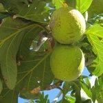 bread fruit- national fruit