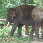 Blind Elephant chained to posts