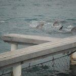 dolphin's at St. Anthony's Key