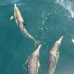 Common Dolphins riding the bow break