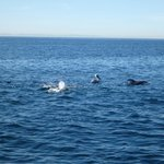 White sided dolphins.