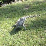 Iguana we saw in St. Thomas