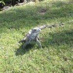 Iguana we saw in St. Thomas