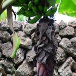 plantas de platano en las Cabañas