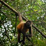 Spider monkey on beach trail
