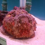 Living Reef Stonefish - found in and around Rarotonga !