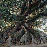 Massive tree stump