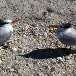 2 Royal Terns on the beach