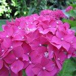 Ortensie in fiore nel nostro giardino!