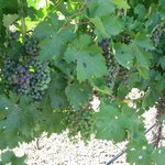 Verasion of the Merlot