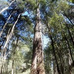 Tall Trees - Mount Field National Park (Russel Falls-Tall Trees Walk)
