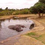 Gorgeous hippos wallowing on the safari tour