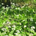 Wild Garlic at Lanercot