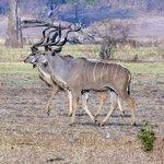 Kudu-Männchen