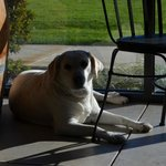 "Their lovely and very sweet Lab, one of the ""Winery Dogs"""