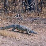 Krokodil auf allen Vieren