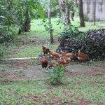 The farm's chickens