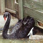 Black swan and goslings