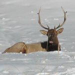 elk sunning himself