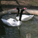 Black necked swans and babies