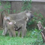 baboons at baobab