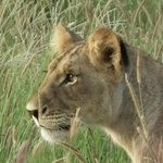 Lion cub in the taita hills