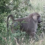Baboons in Tsavo