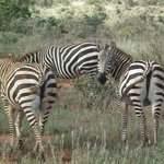 heard of zebra in tsavo