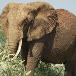Bull elephant in Tsavo