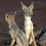 a family of jackals in taita hills