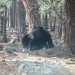 Bear at Bearizona