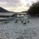 Canadian geese at front of Tarbet hotel beside loch.