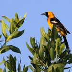 Hooded Oriole at Belizean Shores
