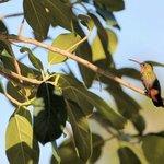 Hummingbird at Belizean Shores