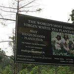 Handunugoda Estate: Virgin White Tea Plantation