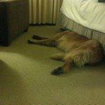 Female dog (120lbs) exhausted from a big day at the foot of the bed