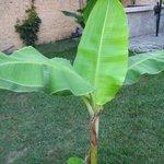 Банан во внутреннем дворике