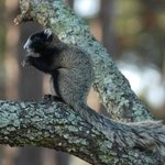 Fox squirrel at our campground