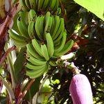 Bananas growing in the beautiful garden