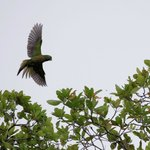 Olive-Throated Parakeet in Flight, above Black Orchid Resort